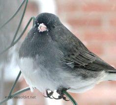 Want Dark-eyed juncos and other sweet birds in your winter garden? Here's some tips >>> empressofdirt.net/winter-bird-care/