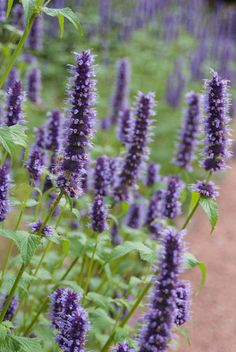Agastache Black Adder, Giant Hyssop Black Adder, Long blooming perennials - in our garden Long Blooming Perennials, Purple Perennials, Stipa, Prairie Garden, Blue And Purple Flowers, Herbaceous Border, Colorful Plants, Drought Tolerant Plants, Native Plants