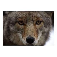 No Child Left Inside: Wild Canines at Oakwoods Metropark Belleville, MI #Kids #Events