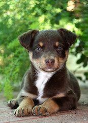 Kelpie Pet Dogs, Pets, Getting A Puppy, Four Legged, Little Babies, Country Living, Beautiful Creatures, Reptiles, Dog Breeds