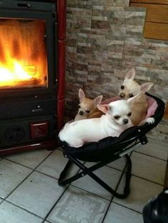 looks like my kind of night by the fire! I just need two more babies! #chihuahua
