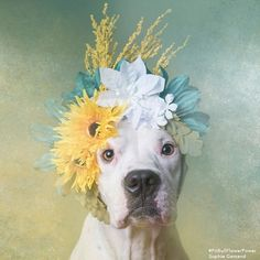 #PitbullFlowerPower by Sophie Gamand