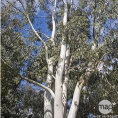 Eucalyptus dalrympleana : ctr 15 litres, Autres marques - Jardinerie TRUFFAUT Forest Habitat, Specimen Trees, Gris Rose, Flora And Fauna, Habitats, Australia, Garden, Southern, Tasmania