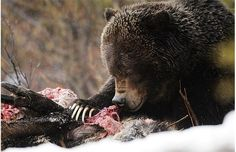 Gallery: Meet the grizzly bears of Banff