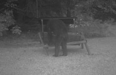 Bear or Bigfoot - The Debate Rages On! - My previous post featured a viral image of a Mystery figure from Arizona which caught fire and sparked debate. There is another image, actually a game camera picture, that is also getting a lot of attention. The above picture was taken by a game cam in Pennsylvania. The picture was posted to facebook by James Bobo Fay of the hit TV show Finding Bigfoot. He stated the picture came from Clara County, but I don't think there is a Clara County. What I...