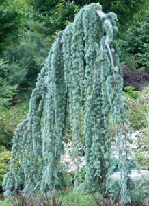 Kigi Nursery - Cedrus atlantica ' Glauca Pendula ' Weeping Blue Atlas Cedar, $20.00 (http://www.kiginursery.com/weeping-blue-atlas-cedar/)