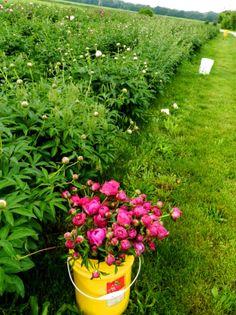 Peonies on the JP Parker Flowers Farm. #FlowerPower http://www.jpparkerco.com/gallery/the-farm/