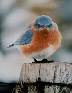 Mad Bluebird My daughter-in-law bought me one of these cute little birds back in 1994 on of my favorite pictures Pretty Birds, Love Birds, Beautiful Birds, Tier Fotos, Backyard Birds, All Gods Creatures, Little Birds, Bird Watching, Blue Bird