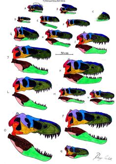 Tyrannosauroidea skull comparison  A = Proceratosaurus B = Guanlong C = Sinotyrannus D = Dilong  E = Eotyrannus  F = Xiongguanlong G = Yutyrannus H = Appalachiosaurus I = Bistahieversor J = Gorgosaurus K = Albertosaurus L = Daspletosaurus M = Alioramus N = Teratophoneus O = Tyrannosaurus P = Tarbosaurus Q = Nanotyrannus