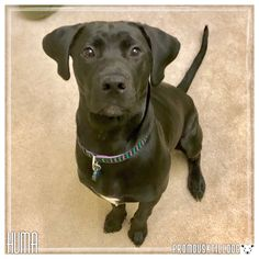 Welcome to one of our newest dog training clients, Huma! She is a 7 month old Labrador and Boerboel mix. This cutie has come to us for assistance with her resource guarding and leash reactivity with other dogs and also to refine her basics. We can't wait to watch this girl grow and learn!