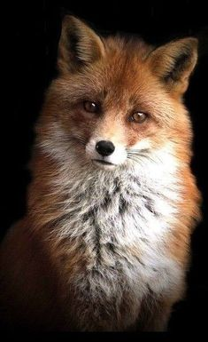 """* Let everys fox takes care o' hiz own tail.This handsome fella.Pin by jean ball on Fox""""Puppy Eyes look"""" Cute Baby Animals, Animals And Pets, Funny Animals, Nature Animals, Regard Animal, Fox Pictures, Pet Fox, Fox Art, Tier Fotos"""