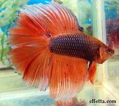 Orange Double Tail Betta Fish