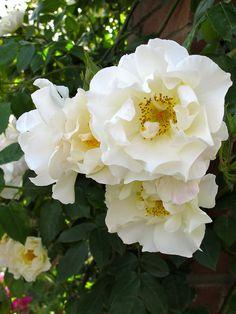 White rambling roses - 'Mountain Snow'