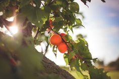 Health Benefits of Apricots. Apricots are a good source of vitamin C, known to ward off vision problems, promote healthy skin and mucus membranes, protect