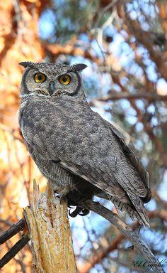 Magellan Horned Owl (Bubo magellanicus).