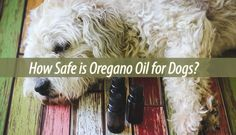 You are probably already using oregano oil for yourself. But did you know that your dogs can take it too? Oregano oil for dogs can work just as well.