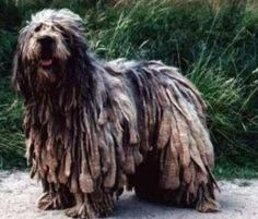 Bergamasco shepherd is a sheepdog, with an usual matted coat. They originated in the Italian Alps.