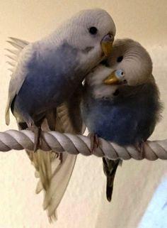 Outstanding - Kakariki Parakeets As Pets :-D Cute Birds, Pretty Birds, Beautiful Birds, Animals Beautiful, Budgies Parrot, Budgie Parakeet, Parakeets, Parrots, Cockatiel