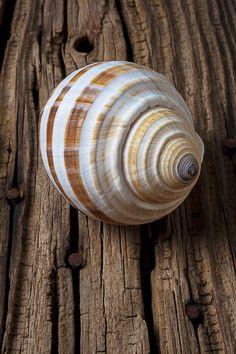 Found Sea Shell Photograph  - Found Sea Shell Fine Art Print