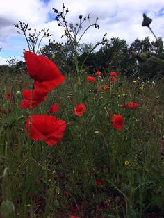 There are so many poppies growing wild this June in Wiltshire