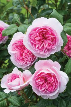 The Ancient Mariner - English Rose Shrubs - English roses - bred by David Austin David Austin Roses, My Flower, Pretty Flowers, Austin Rosen, Rosen Beet, Rose Foto, Rose Garden Design, Pink Garden, Garden Roses