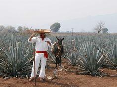 gblawie:  Jimador, Jose Cuervo agave fields, Jalisco