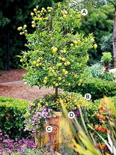 potted citrus tree