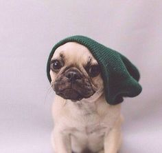 'Hipster' French Bulldog, too cute.