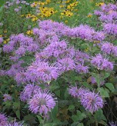 Roots of Monarda fistulosa, Wild Bergamot (Bee Balm) Prairie Garden, Sun Garden, Shade Garden, Dream Garden, Garden Plants, Garden Beds, Horticulture, Hummingbird Garden, Wild Edibles