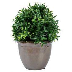 Green Boxwood in Brown Ceramic Pot