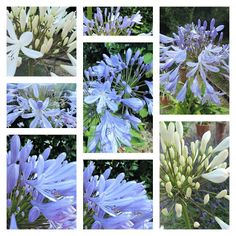 Agapanthus - all the things