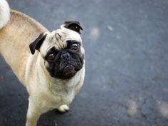 Pug pug pug pug menagerie/ I MISS my Baby/Sandy will always be missed....