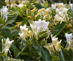 If you remember a sweetly scented honeysuckle vine from your childhood, odds are good this is the one. Excellent for screening, creating a s...