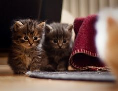 cute gray kitten hiding behind tabby kitten