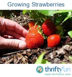 This is a guide about growing strawberries. Strawberries are a tasty and healthy fruit that the whole family can enjoy. Growing them in your garden can be quite easy and rewarding.