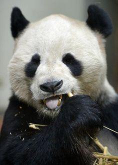 Yang Guang, the male Panda at Edinburgh Zoo, eats bamboo inside his enclosure on April 10, 2013 in Glasgow, Scotland