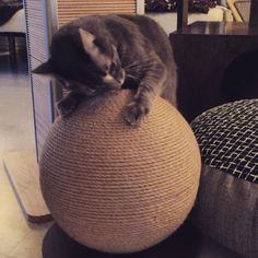 I think Andy likes the new Scratching Sphere! Available from shop.hauspanther.com in the scratching section! #cats #catsofinstagram #cattoy #catscratcher #bestthingever