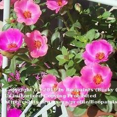 Living in a dry heat with high temperatures between 105 and 110 during the summer, purslane laughs in your face and thrives here in Phoenix, Arizona. Add some incredible, edible ornamental purslane to your garden this summer! A salsa with purslane recipe is included in the article.