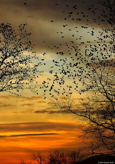 Flock of American Robins at sunset, Lovettsville, Virginia |  copyright Tom Lussier Photography