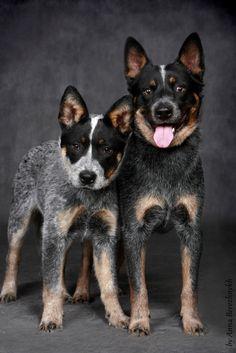 File:Australian Cattle dog from Dingostar kennel based in Russia.jpg