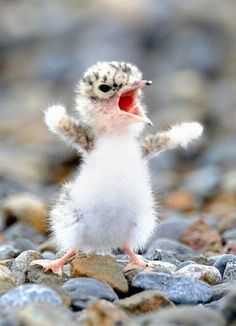 A baby bird standing on rocks chirping loudly with its mouth open and wings raised up in the air.