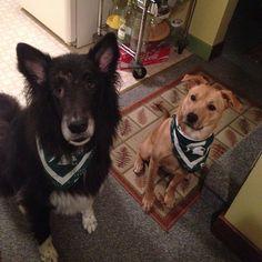 The doggies in their Spartan gear ☺️ #puppies #gogreen #gowhite #spartans #Padgram