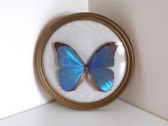 Cadre papillon morpho