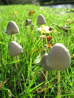 psilocybin mushrooms - Bing Images