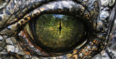 Close up image of the eye of a gharial Fast Crazy Nature Deals. Crocodile Eyes, Crocodile Animal, Crocodile Cake, Crocodile Costume, Eye Photography, Animal Photography, Krokodil Tattoo, Eye Puns, Crocodiles
