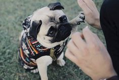 Pug Love, I Love Dogs, Cali, Socializing Dogs, Pugs And Kisses, Baby Pugs, Cute Pugs, Adorable Puppies, Dog Information