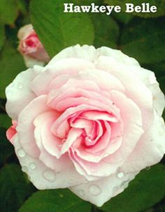 """Hawkeye Belle"" buck rose for cold climates."