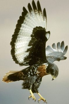 Jackal Buzzard (Buteo rufofuscus) is a 45–55 cm long African bird of prey. The taxonomy on this species is confusing, with some taxonomists considering this species, the Archer's Buzzard, and the Augur Buzzard to be the same superspecies.
