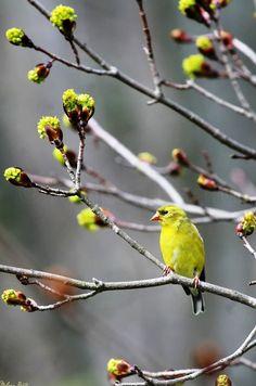 Earth-Song: American Goldfinch (Female), Vestal, New York - © Melissa Mancuso Penta Pretty Birds, Love Birds, Beautiful Birds, Birds 2, Shades Of Green, Green And Grey, Gray, Earth Song, Photo Animaliere