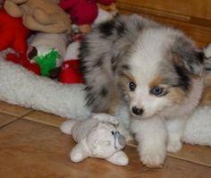 Fluffy Aussie Puppy! They look like little bears! Gahhh!